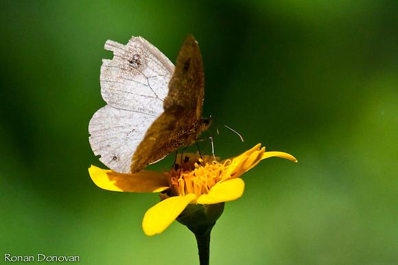 Kibale np Butterfly